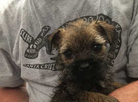 Pedigree Border Terrier Pups