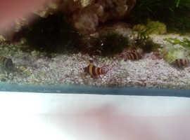 Baby assassin snails
