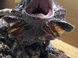 Female frilled lizard