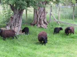 oussant sheep and babies for sale