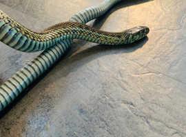 Breeding pair hybrid garter snakes