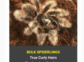 True curly hair spiderlings 2cm