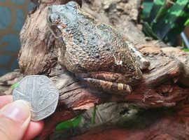3x cuban tree frogs