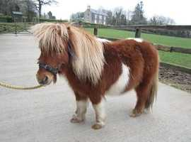 Looking for miniature Shetland