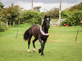 Welsh D Mare 2 year old