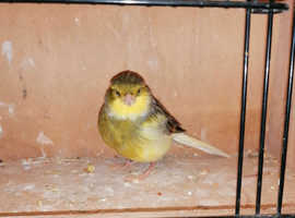 Gloster canary hen