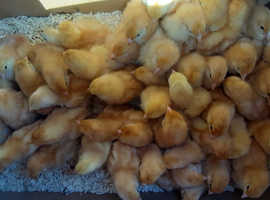 Variety day olds chicks.  Rhode island red, white sussex, amber star.