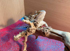 8 month old bearded dragon with set up