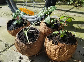 Plants in coconut shell