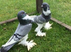 Pomeranian Pouter Pigeons