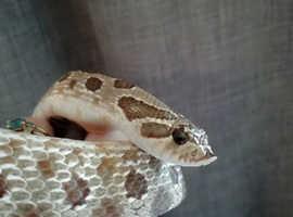 Weston Hognose snake available
