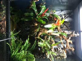 Red eye tree frog bioactive setup