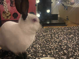 10 week old Himalayan bunny for sale