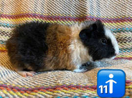 Two Bonded Male Baby guinea pigs