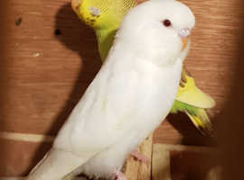 Budgies For Sale & Rehome in Wakefield | Find Birds For Sale