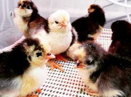Gorgeous Bantam Chicks