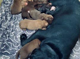 Labrador Retrievers puppy's