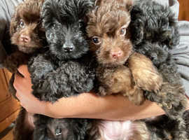Mixed litter chihuahua x toy poodle ready now