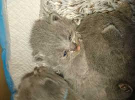 Two blue shorthair kittens boys
