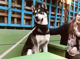 Amazing Siberian Husky to Good Home.