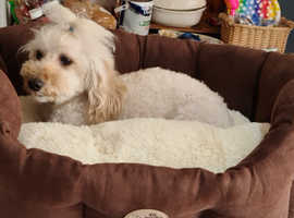2Yr Old Miniature Poodle Girl For Sale