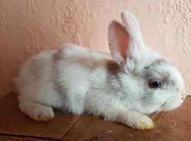Blue eyes dwarf bunny