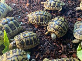 Tortoise (Hermann)