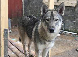 Stunning husky x Czech pups