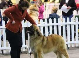 Stunning KC registered Leonberger puppies