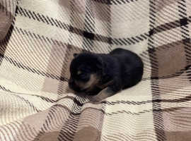 ** Beautiful Jack Russell Puppies **