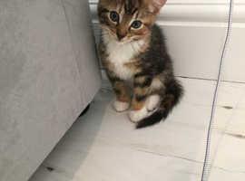 Kitten for sale