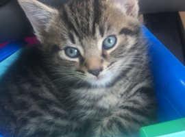 8 Week Old Male Tabby Kitten
