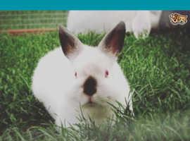 Dwarf bunny female