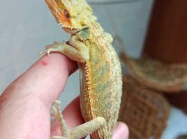 Hypotrans Bearded Dragon