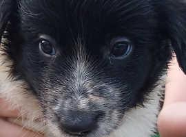 3 handsome border collies pups