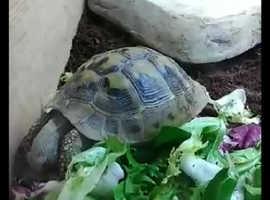 Hermann tortoise and full setup