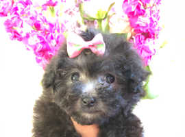 Maltipoo puppies champagne puppy stunning silver grey small dog Maltese cross poodle nonmoulting little