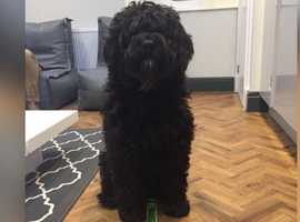Much loved Portugese Water Dog Bruce x