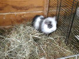 Beautiful Swiss guinea pig boar ready now