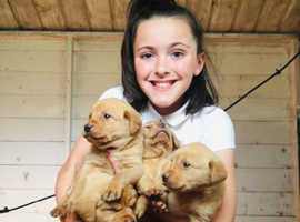 FTC Labrador puppy's
