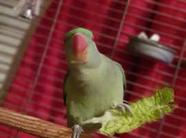 9 Months Alexandrine Parakeet