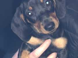 Pra clear Kc miniature dachshund smooth haired