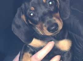 Pra clear Kc miniature dachshund smooth haired
