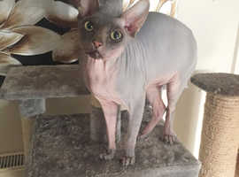 STUD NOT FOR SALE CANADIAN SPHYNX