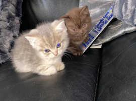 British short hair lilac kittens