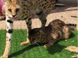 F6 savannah boy with female serval