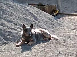 Australian cattle dog boy