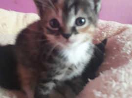 2 love 6 week singapura mixed kittens