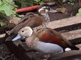 Ringed teal ducks