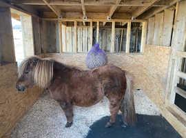 Registered Standard Shetland Pony mare for sale.